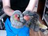 Птенцы попугая фишера и розовощёкий