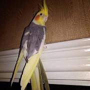 попугай ожереловые корелла от заводчика