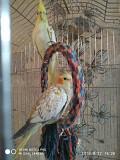 Продаем попугаев корелл