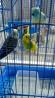 Волнистые попугаи+клетка и аксессуары