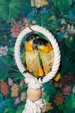 Птенцы выкормыши черноголового каика