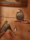 Выставочный Волнистый Попугайчик