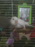 Волнистые попугаи птенцы и взрослые
