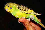 Птенчики попугая волнистого