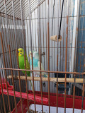 Продаю 2-х волнистых попугаев + клетка в подарок
