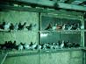 Продаются голуби мраморные, такла.