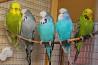 Выставочные волнистые попугаи Чехи, самочка