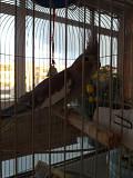 Попугай, породы Корелла