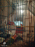 Попугайчики-неразлучники