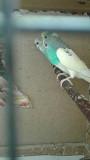 Попугаи и амадины