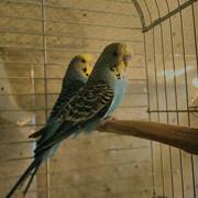 Лазурные и волнистые попугаи (чехи)