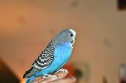 Продам волнистого попугая (девочка)