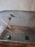 Продаётся два волнистых попугайчика
