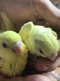 Волнистые попугайчики из домашнего питомника