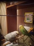 Продам 2 волнистых попугайчиков