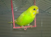 Волнистые попугай птенец самка