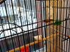 Птицы зебровых амадины с клеткой