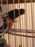 Пара попугаев неразлучников