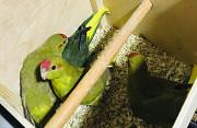 Попугаи Какарик
