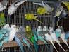 Волнистые попугайчики в Иглино