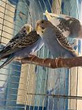 Продам попугаев(волнистых))