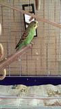 Попугайчик волнистый мальчик