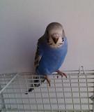 Волнистый попугай.