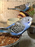 Птенцы волнистых попугаев.