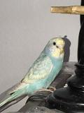 Птенец волнистых попугайчиков