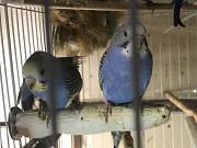 Птенцы волнистых попугайчиков.