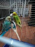 Волнистые попугаи.неразлучники,