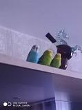 Попугаи волнистые элитные домашнего разведения