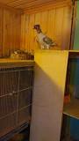Бакинские широкохвостые голуби