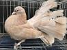 Продам голубей: павлины разных расцветок