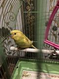 Волнистый попугайчик девочка