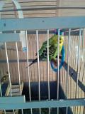 2 папугая