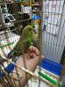 Малыши попугайчики