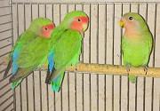 Попугай неразлучник (масковые)