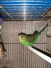 Птенцы волнистого попугая