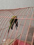 Продам волнистых попугаев за 1000 рублей