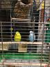 Продам волнистых попугаев с клеткой