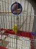 Попугай 1.5мес+клетка