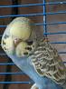 Выстовочные волнистые попугаи чехи