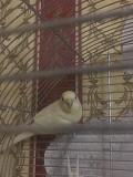 Волнистый попугайчик (самка)