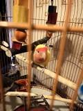 Попугай Неразлучник (Самка) с клеткой