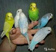 Продам волнистых молоденьких попугайчиков