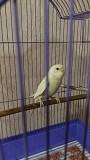 Волнистый попугай ( самка)