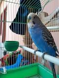 Волнистые попугайчики мальчик 1 год