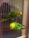 Волнистый попугай, пара волнистых попугаев