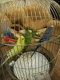 Попугаи с двумя клетками